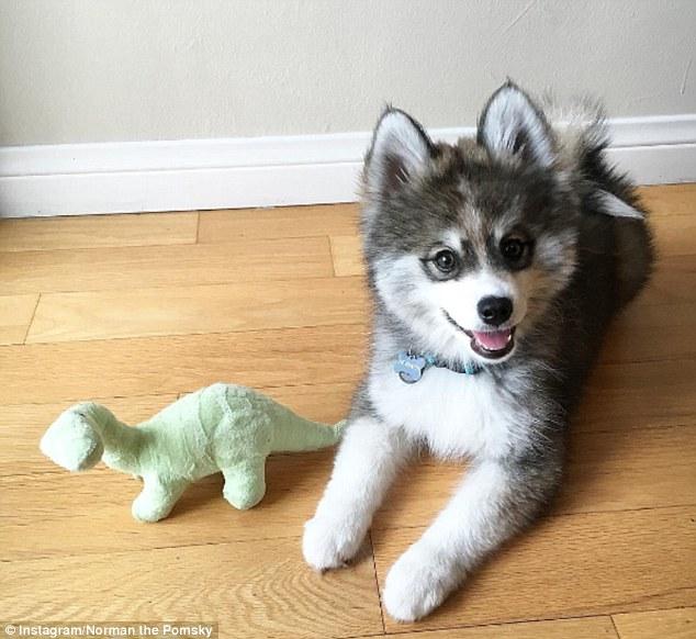 Where Can I Get A Pomsky Dog