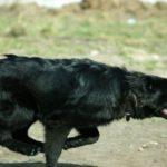 sheprador dogs