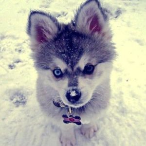 Corgi Husky Mix puppy in snow