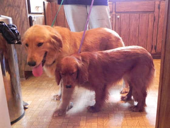 Golden Retriever andMini Golden Retriever size comparison
