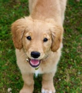Mini Golden Retriever puppy