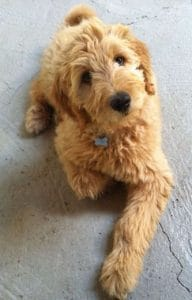 Goldendoodle look