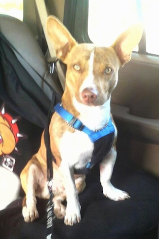 pitbull chihuahua mix aka chipit � breed info