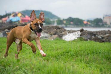 German Shepherd Pitbull Mix also known as German Pit or German Sheppit