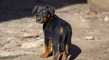 German Shepherd Rottweiler Mix also known as German Shepweiler or Rottweiler Shepherd