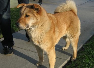 Labrador Chow Mix also known as Chowbrador, Labrachow or Chow Lab Mix.