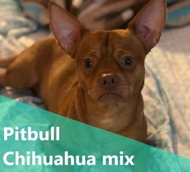 Pitbull Chihuahua Mix also known as Pihuahua or Chipit
