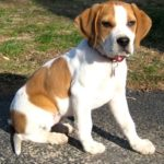 beagle boxer mix