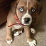 boxer beagle mix