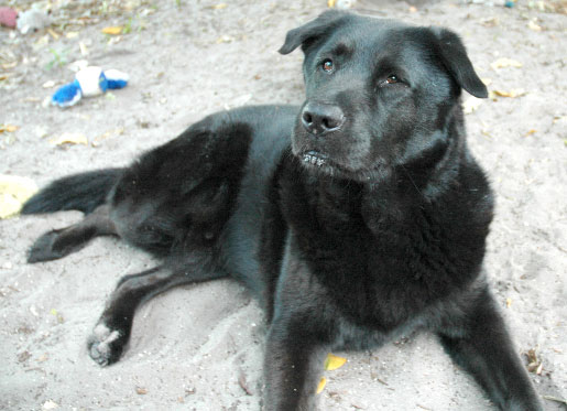 Labrador Chow Mix – Breed Info, Characteristics and Pictures - Animalso