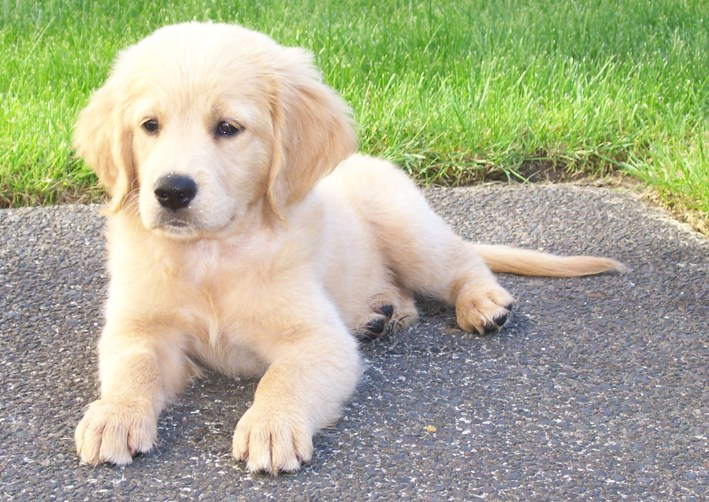 10 Things You Need To Know About The Miniature Golden Retriever