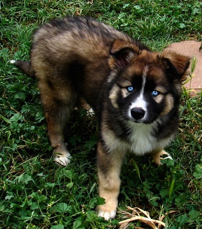 german shepherd mix with husky