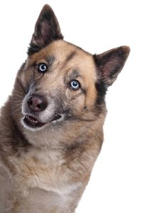 German Shepherd and Siberian Husky Mix funny photo