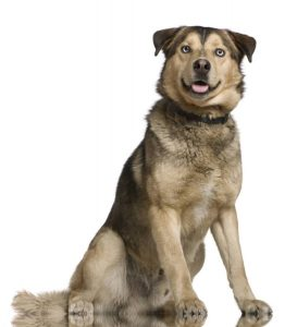 Husky mixed with a German Shepherd, 2 years old, sitting in front of white background