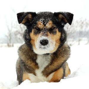 a square portrait of a cute German Shepherd Husky Mix Breed dog looking at the camera with snow on his nose and laying snowy white background
