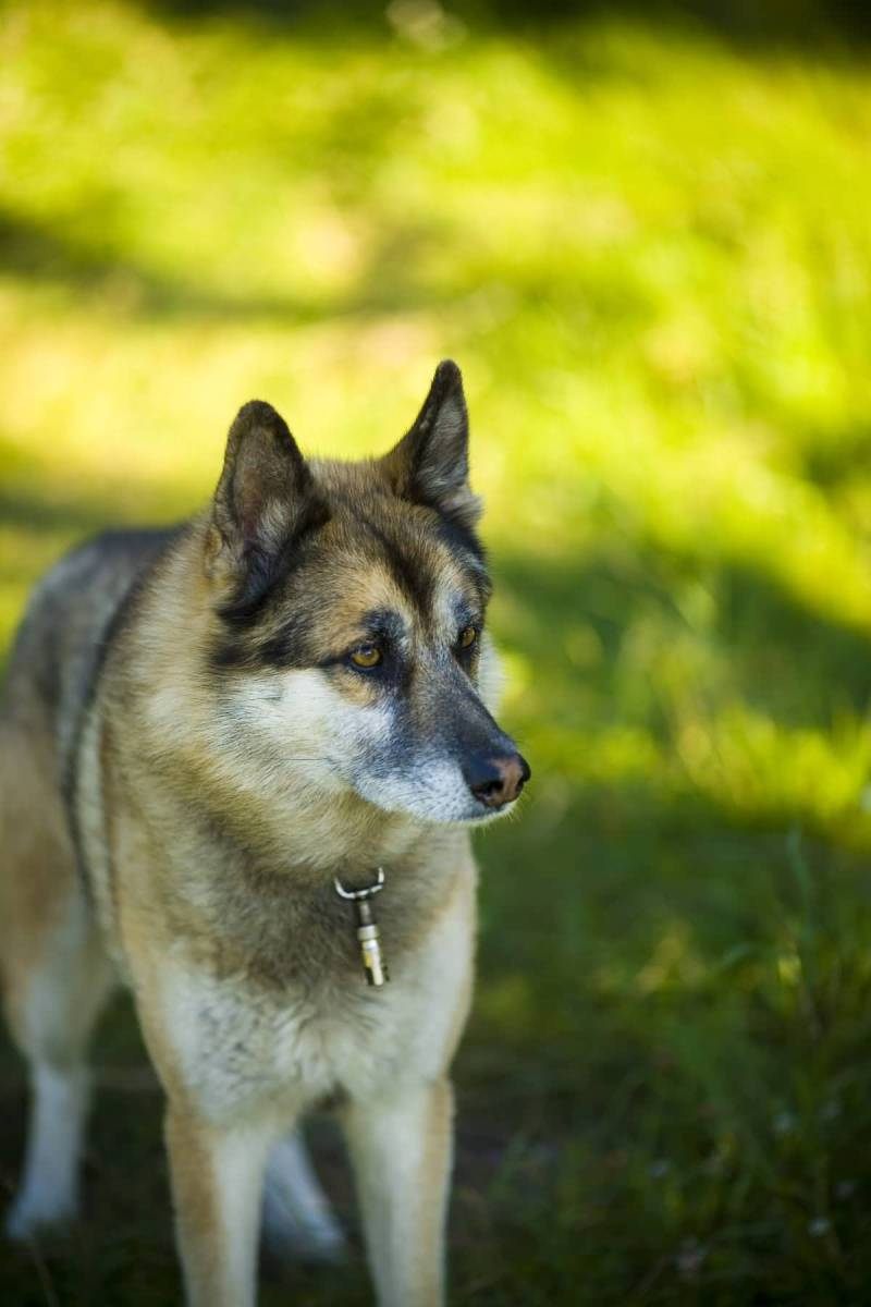 german shepherd cross husky