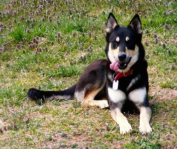 german shepherd and husky mix the german shepherd husky mix a k a gerberian shepsky 7675