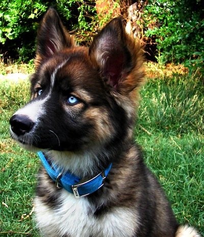 The German Shepherd Husky Mix A K A Gerberian Shepsky