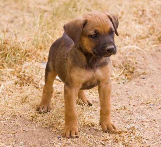 German Shepherd Pitbull Mix – breed info, characteristics