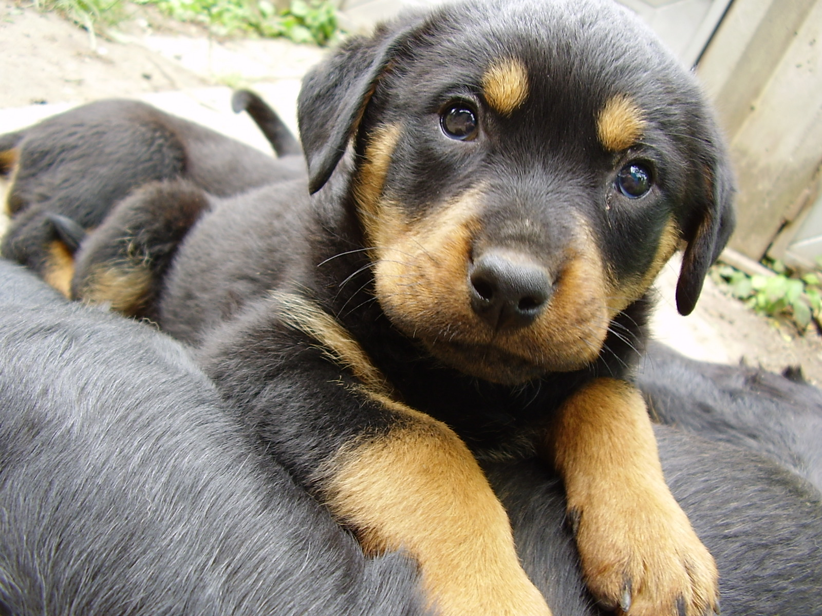 rottweiler mix puppies