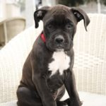 lab boxer mix