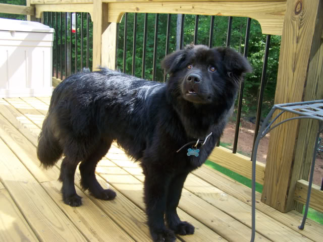 Labrador Chow Mix Breed Info Characteristics And Pictures Animalso