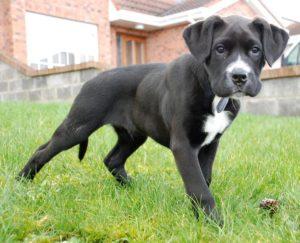 Labrador Boxer Mix