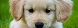 Miniature Golden Retriever (A.K.A. Comfort Retriever) – Breed Info