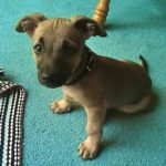 pitbull chihuahua mix #1