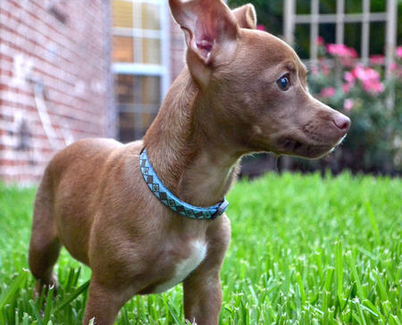 pitbull chihuahua mix #2