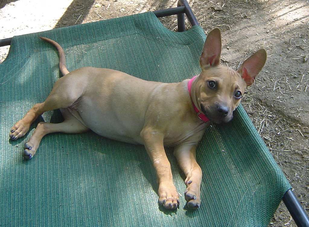 pitbull chihuahua mix #4
