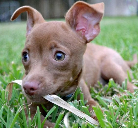 pitbull chihuahua mix #7