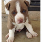 pitbull husky mix