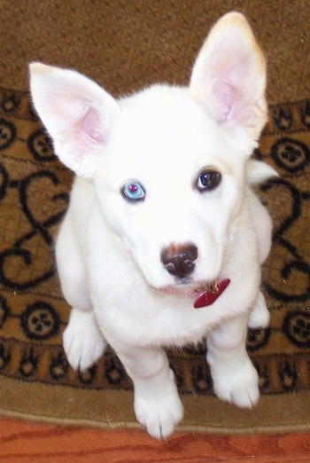 Dog breed that looks like a mini husky