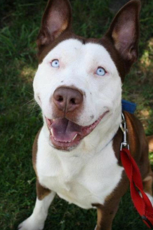 7 Facts About Pitbull Husky Mix A K A Pitsky Animalso