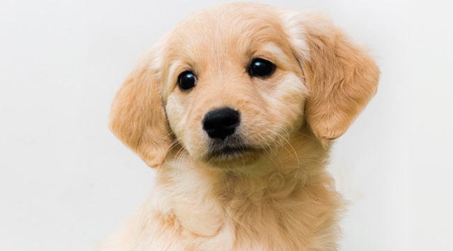 10 Things You Need To Know About The Miniature Golden