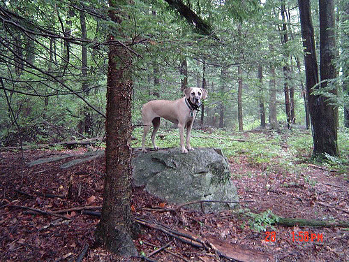 mouth cur dog in the forest
