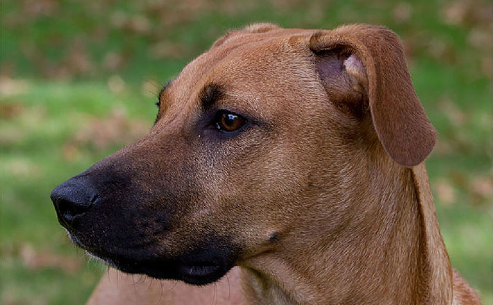 5 Facts About The Black Mouth Cur