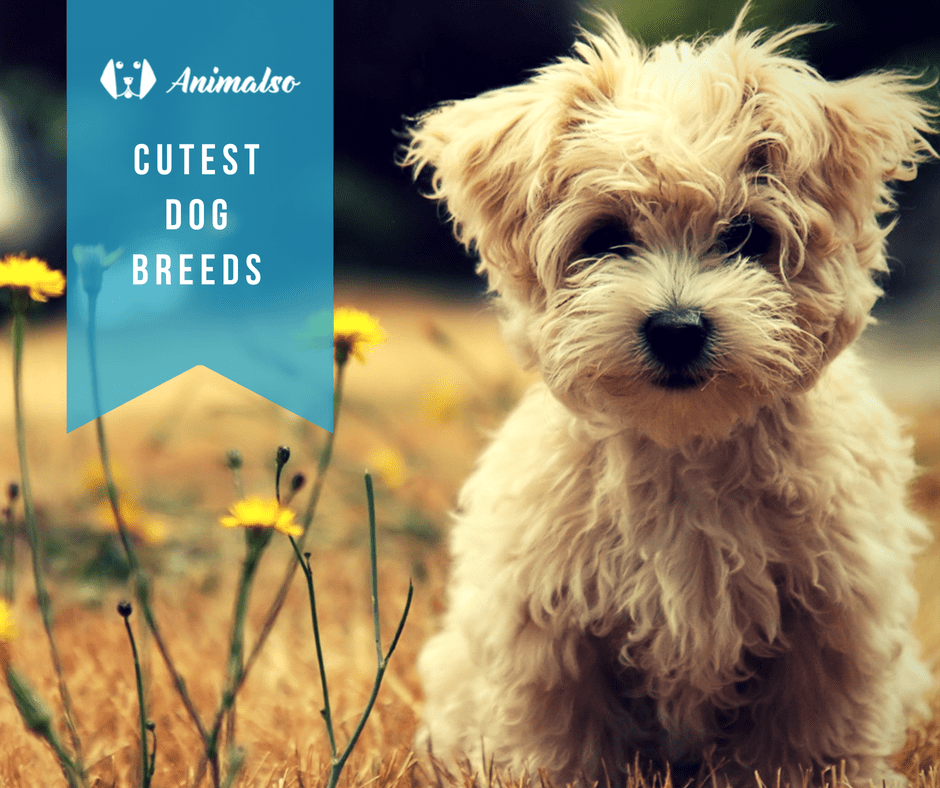 Cutest Dogs Breeds List Animalso