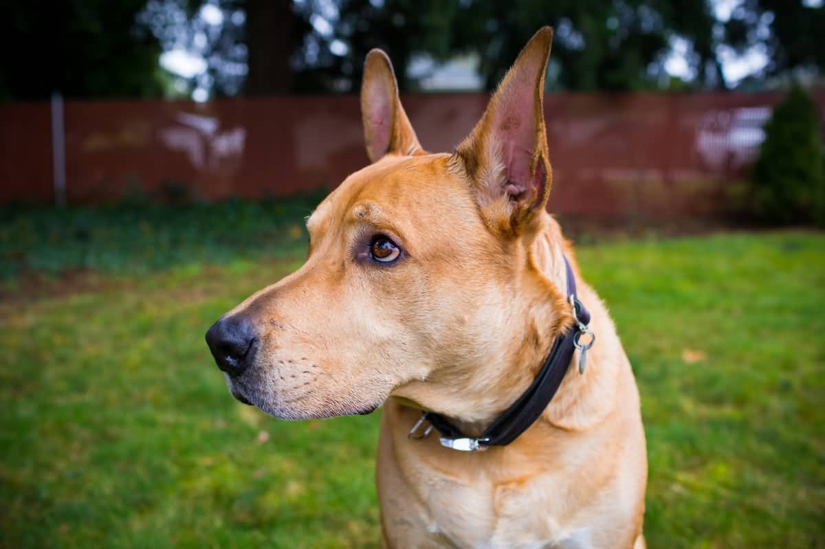 why is the pitbull lab mix aka labrabull such a great