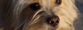 Shih Tzu Chihuahua Mix (A.K.A. Shichi) Breed Info & 21 Pictures