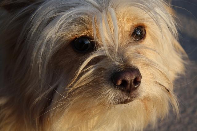 Shih Tzu Chihuahua Mix Aka Shichi Breed Info 21 Pictures