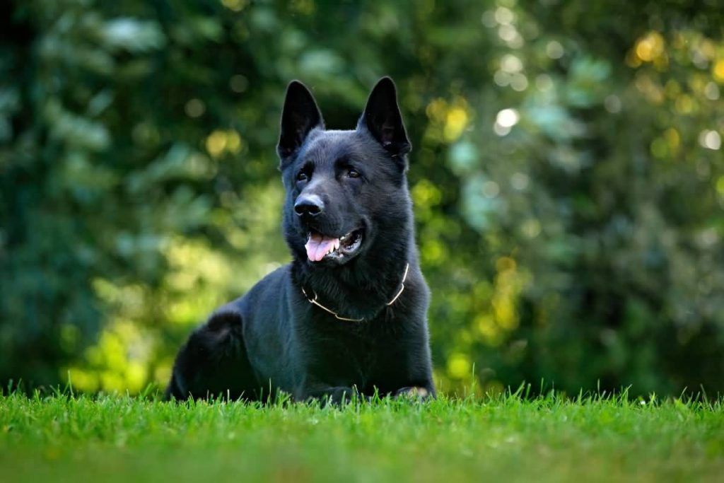 Black German Shepherd Dog sitting in the green grass with nature background