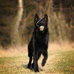 fun beautiful black german shepherd dog running