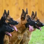 One black and three standard color German shepherds in a profile attentively look afar
