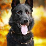 black German shepherd dog on the background of autumn