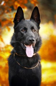 black German shepherd dog on the background of autumn