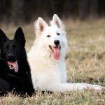 Black German Shepherd near White Dog