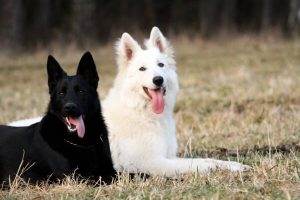 Black German Shepherd near White Dog