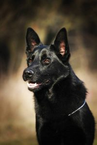 beautiful black german shepherd dog outdoors